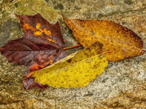 A Trio of Leaves